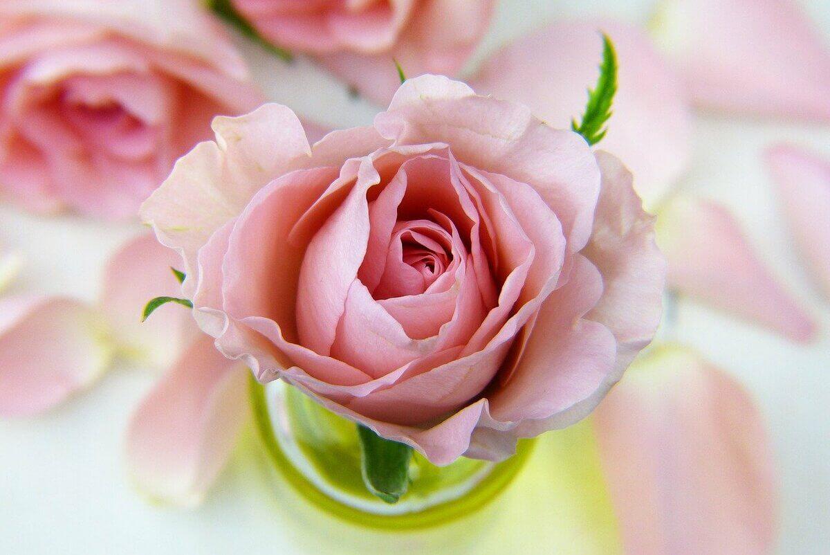 rose-3086563_1280
