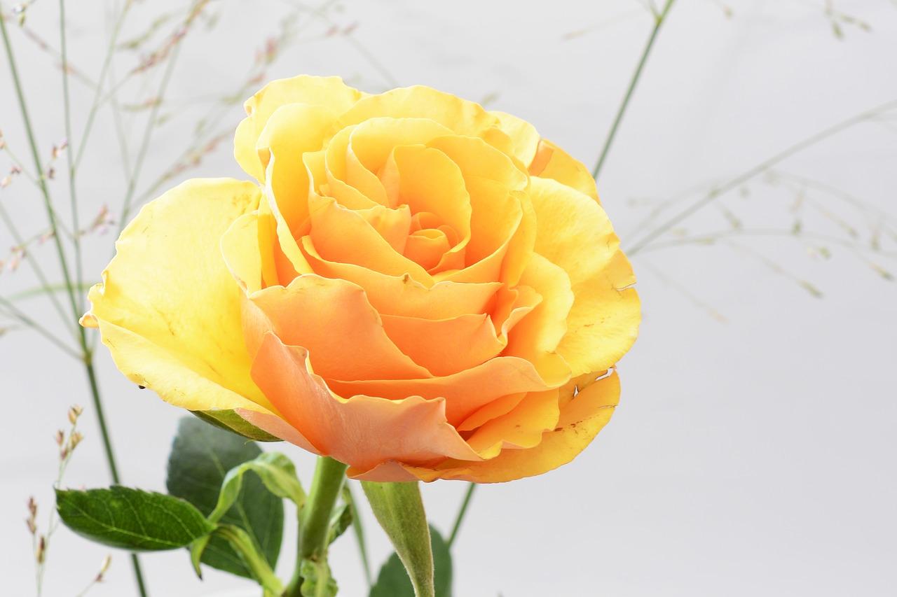 rose-3778812_1280