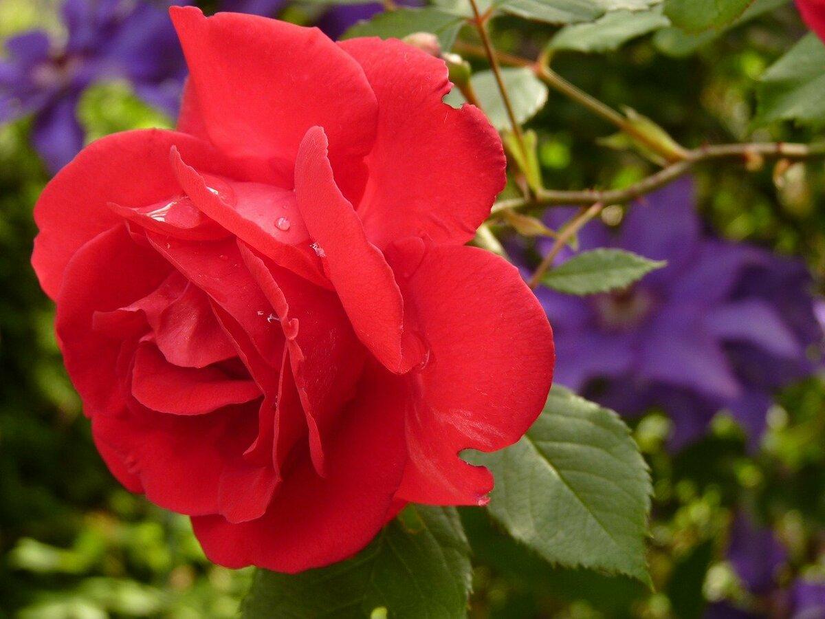 rose-7634_1280