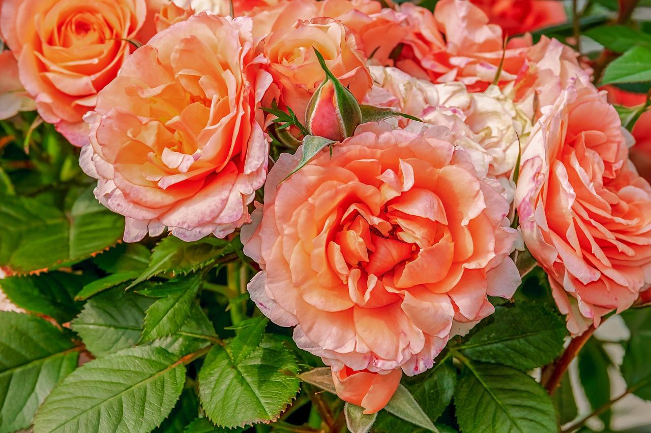 roses-3611502_1280